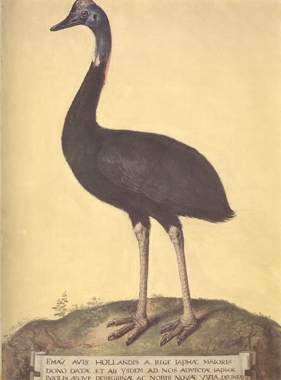 Color image of an emu facing left