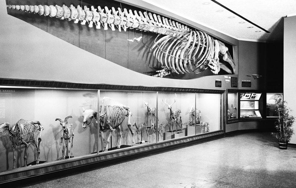 Giant fish skeleton